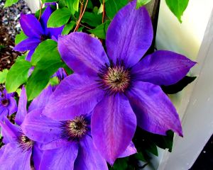 clematis growing climber